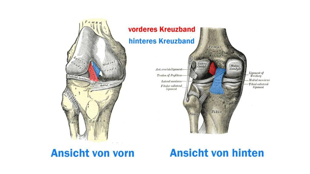 Anatomie Vorderes und hinteres Kreuzband