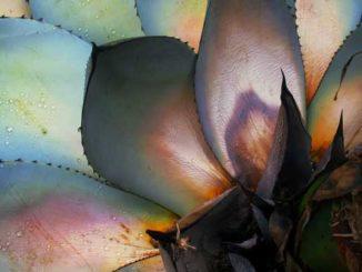 Agavendicksaft wird aus der Agave hergestellt