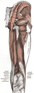 Hamstrings - die ischiokrurale Muskulatur